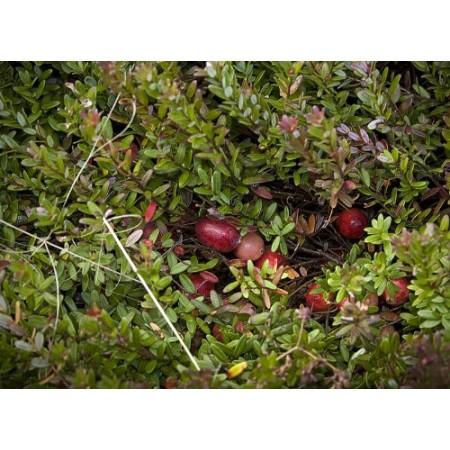 Cranberry -Vaccinium macrocarpon- 10 Samen