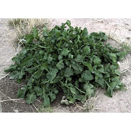 Rucola -Rauke- 2500 Samen