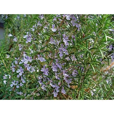 Rosmarin -Rosmarinus officinalis- 25 Samen