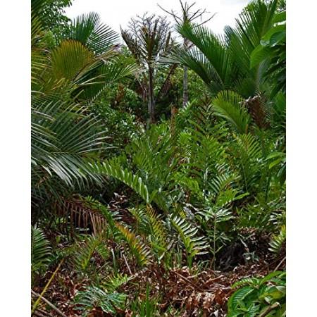 Mangrovenfarne -Acrostichum-aureum- 10 Samen