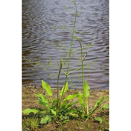 Froschlöffel -Alisma plantago-aquatica- 50 Samen