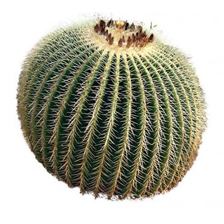 Goldkugelkaktus -Echinocactus grusonii- 25 Samen