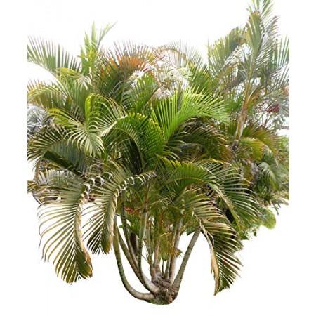 Areca Palme -dypsis lutescens- 10 Samen