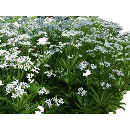 Echter Waldmeister -Galium odoratum- 25 Samen