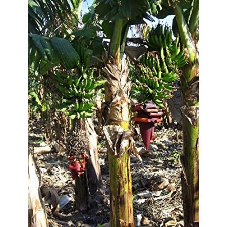 Indische Banane -Musa thomsonii- 10 frische Samen
