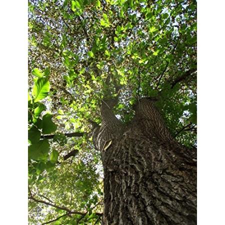 Bergulme -ulmus glabra- 50 Samen