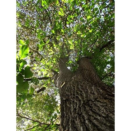 Bergulme -ulmus glabra- 1000 Samen