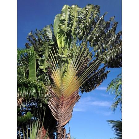 """Baum des Reisenden (Ravenala madagascariensis) 100 Samen """"""""Das Wahrzeichen Madagaskar's"""""""""""