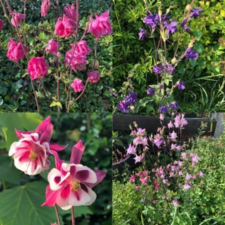 Akelei Blumen Mischung 100+ Samen (Aquilegia) **Viele Verschieden Blüh Farben** Bienenweide, Blumenwiese