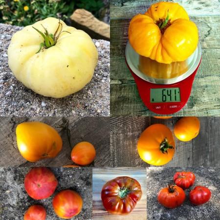 Bunter  Beefsteak Tomaten Mix 20 Samen