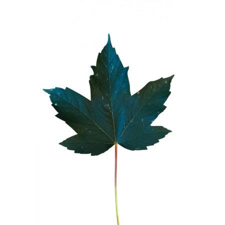Berg Ahorn  -acer pseudoplatanus- 1000 Samen
