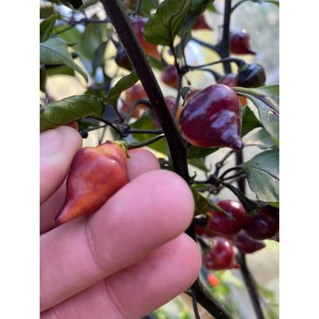 Chupetinho Purple 10 Samen