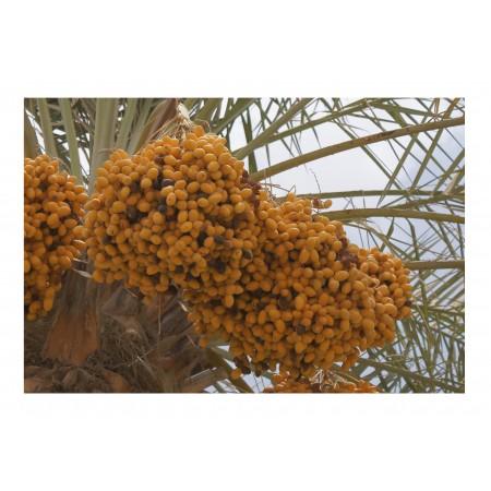 Echte Dattelpalme -Phoenix dactylifera- 100 Samen