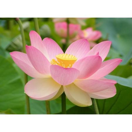 Lotosblume Pink , Nelumbo Nucifera 1 kg Samen