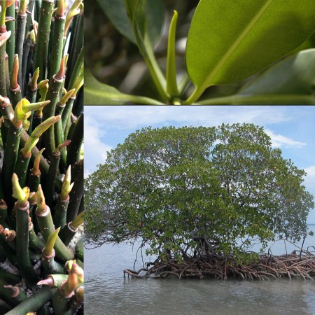Rote Mangrove -Rhizophora mangle- 50 Samen