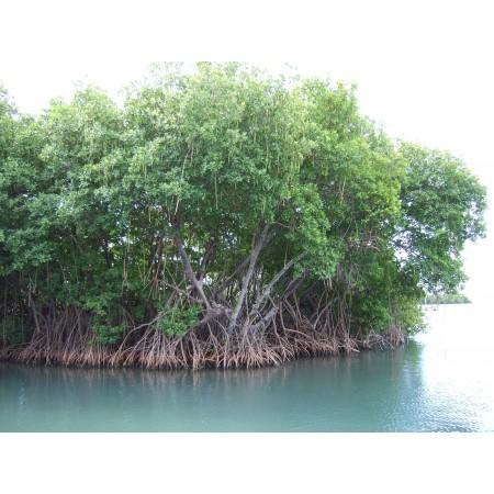 Rote Mangrove -Rhizophora mangle- 100 Samen  '''Aktion'''