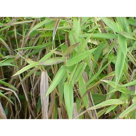 Bambus Hirse, Hirschzungenrispenhirse -panicum clandestinum- 20 Samen