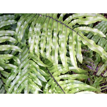 Rippen Farn -Blechnum minus- 20 Sporen/Samen