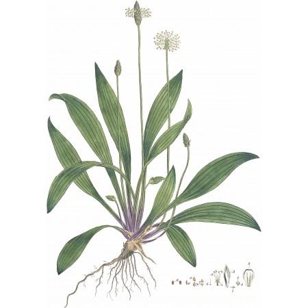Spitzwegerich -Plantago lanceolata- 500+ Samen