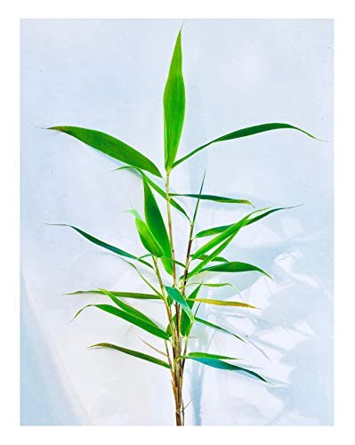 Yunnan Bambus -Fargesia yunnanensis- 15 Samen