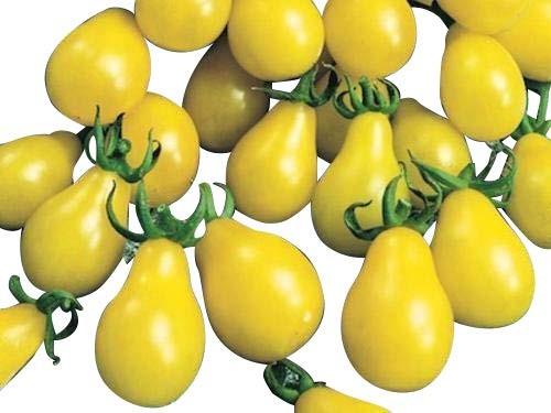 Tomate -Gelbes Birnchen- 10 Samen ***Saftig und Süß***