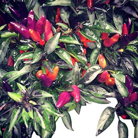 Pretty in Purple 1000 Chili Samen Mini Chili