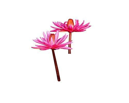 Tropische Pinke Seerose -Nymphaea- 10 Samen