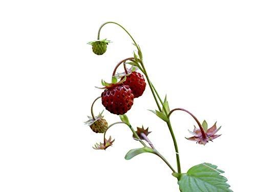 Erdbeere -Rügen- 40 Samen