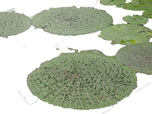 Riesen Stachelseerose -Euryale ferox- 4 frische Samen
