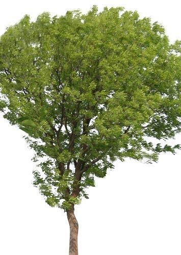 Echter Mahagoni Baum -Swietenia mahagoni- 10 Samen