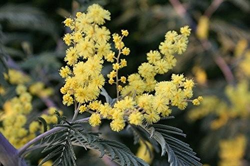 Silber-Akazie (Acacia dealbata) 20 Samen
