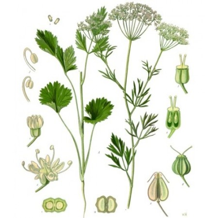 Anis -Pimpinella anisum- 50 Samen