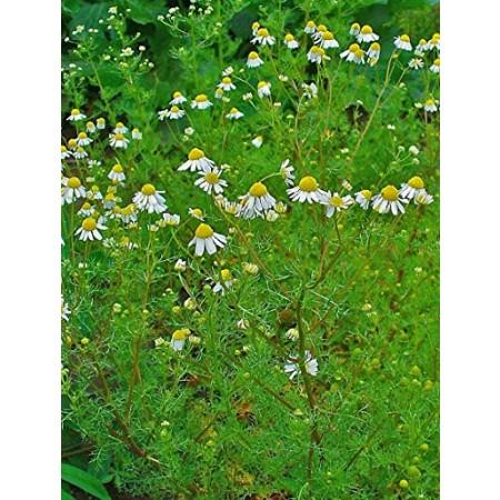 Echte Kamille -matricaria chamomilla- 1000 Samen